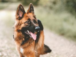 German Shepherd Casting Calls